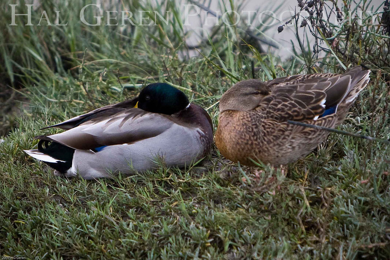 Duck Nest<br /> Don Edwards Natl Wildlife Refuge, Fremont, CA<br /> 0711R-DN3