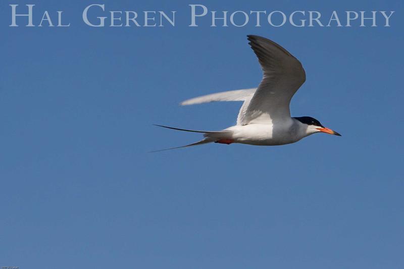 Least Tern<br /> Don Edwards Wildlife Refuge, Fremont, California<br /> 0710R-LT1
