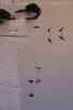 Black Necked Stilts<br /> Don Edwards Wildlife Refuge<br /> 0708R-BNS3