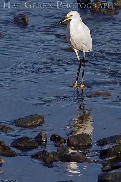 Snowy Egret<br /> Don Edwards Wildlife Refuge<br /> 0710R-SN2