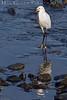 Snowy Egret<br /> Don Edwards Wildlife Refuge<br /> 0710R-SN2