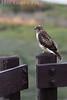 Hawk<br /> Don Edwards Wildlife Refuge<br /> 0708R-H1