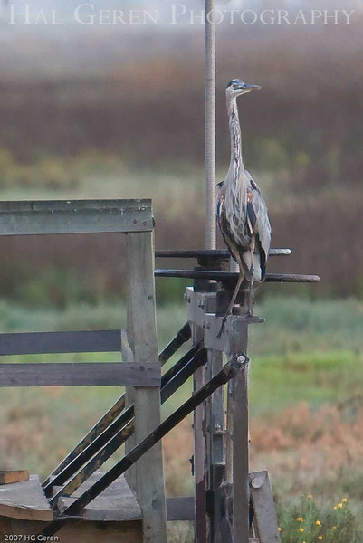 Blue Heron on a Salt Pond Gate<br /> Don Edwards Wildlife Refuge<br /> 0708R-BH1