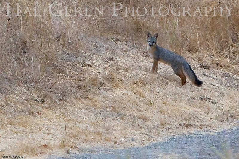 Gray Fox<br /> Don Edwards Wildlife Refuge<br /> 0708R-F3