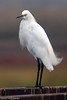 Snowy Egret<br /> Don Edwards Wildlife Refuge, Fremont, California<br /> 0710R-SE5EE