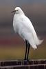 Snowy Egret<br /> Don Edwards Wildlife Refuge, Fremont, California<br /> 0710R-SE5EE