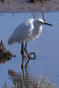 Snowy Egret<br /> Don Edwards Wildlife Refuge, Fremont, California<br /> 0710R-SE14NH