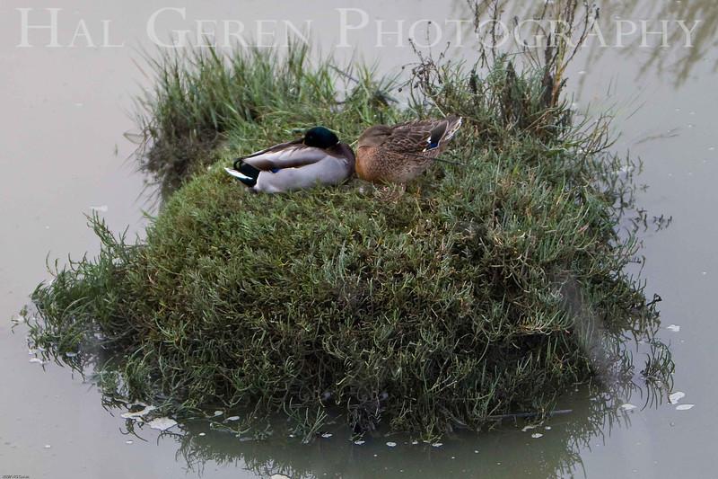 Duck Nest<br /> Don Edwards Natl Wildlife Refuge, Fremont, CA<br /> 0711R-DN1