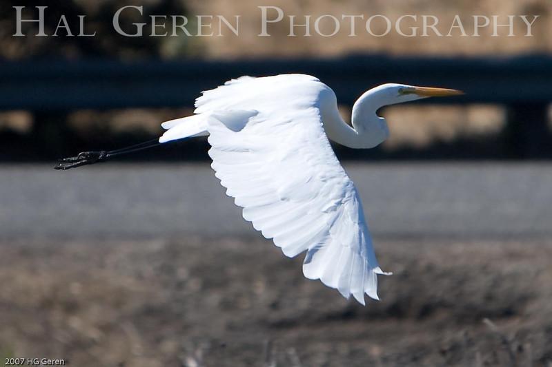 Great Egret <br /> Don Edwards Wildlife Refuge, Fremont, California<br /> 0710R-SEF1