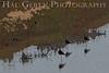 Avocet<br /> Don Edwards Natl Wildlife Refuge, Fremont, California<br /> 0706R-A3E1