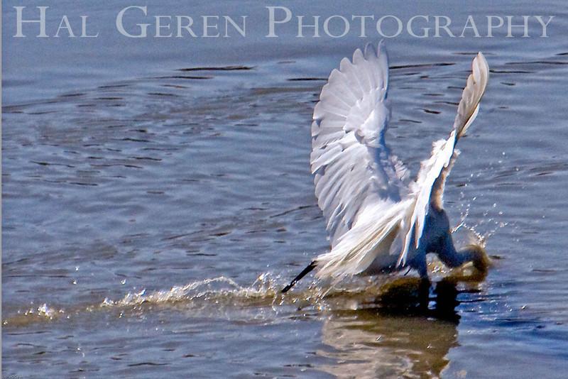 Great Heron Strikes<br /> Don Edwards Natl Wildlife Refuge, Fremont, California<br /> 0706R-HF4L