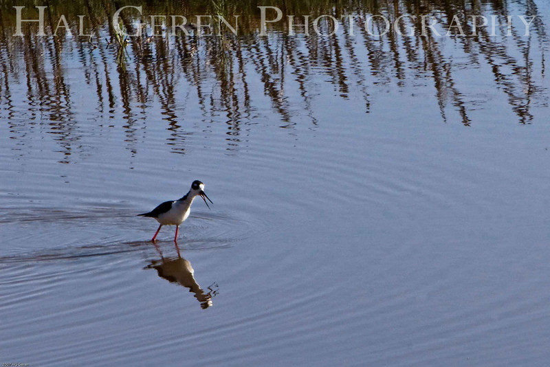 Ring Necked Stilt<br /> Don Edwards Natl Wildlife Refuge, Fremont, California<br /> 0706R-A2