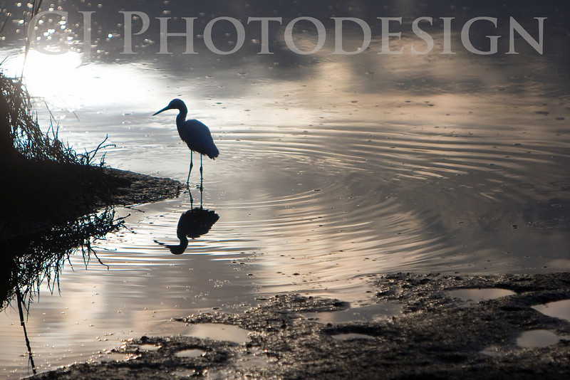 Snowy Egret Reflections<br /> Don Edwards Nat'l Wildlife Refuge, Fremont, CA<br /> 0807R-SER1