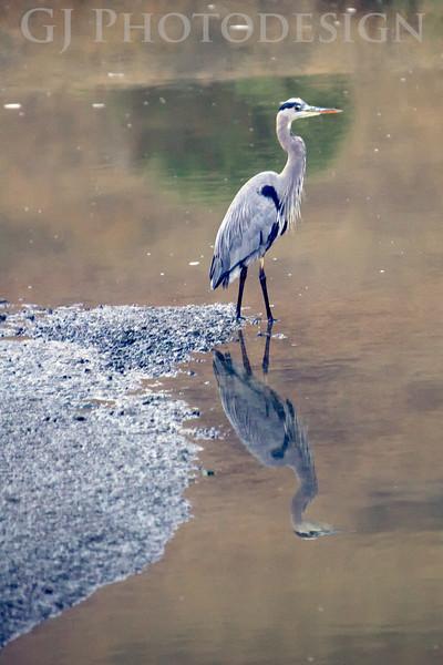 Blue Heron<br /> Don Edwards Nat'l Wildlife Refuge, Fremont, California<br /> 0810R-BH2