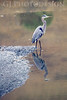 Blue Heron<br /> Don Edwards Nat'l Wildlife Refuge, Fremont, California<br /> 0810R-BH2