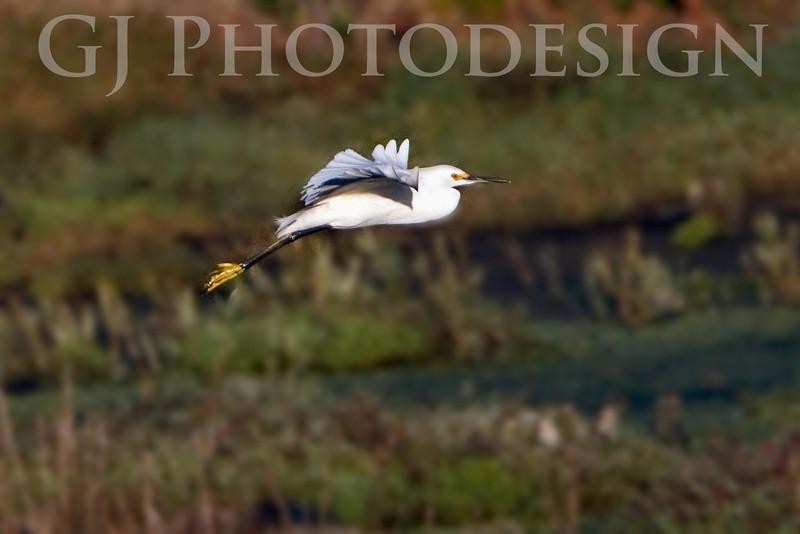 Snowy Egret<br /> Don Edwards Nat'l Wildlife Refuge, Fremont, California<br /> 0810R-SF1