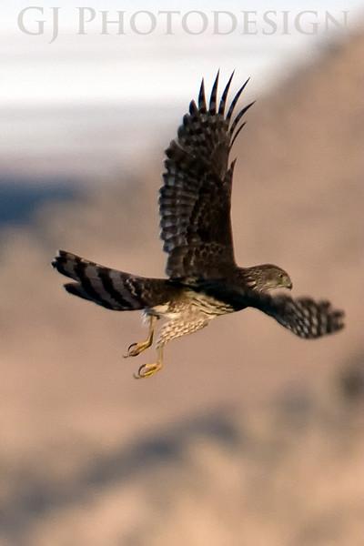 Kestral<br /> Don Edwards Nat'l Wildlife Refuge, Fremont, California<br /> 0811R-K3A