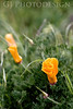 California Poppies<br /> Don Edwards Nat'l Wildlife Refuge, Fremont, California<br /> 0803R-P8