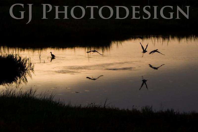 Black Necked Stilts at Sunrise<br /> Don Edwards Nat'l Wildlife Refuge, Fremont, California<br /> 0808R-SAS3