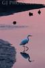 Great Egret and Ducks <br /> Don Edwards National Wildlife Refuge<br /> 0811R-GE13
