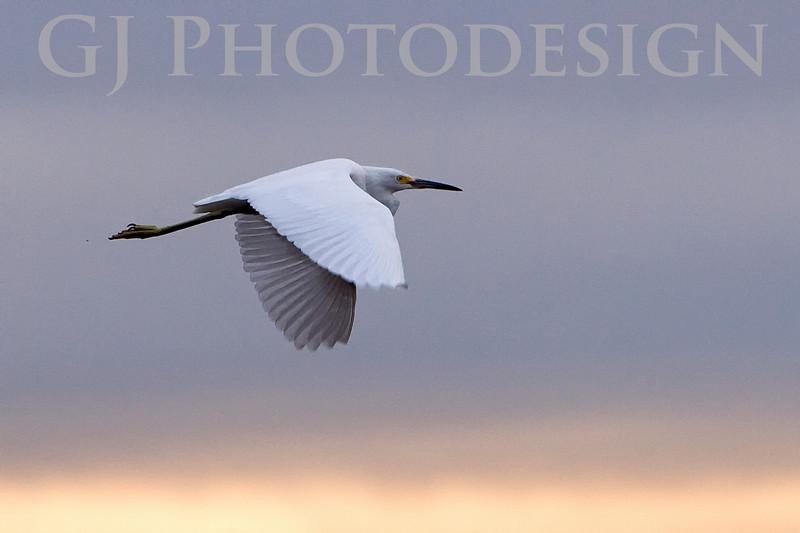 Great Egret<br /> Don Edwards Nat'l Wildlife Refuge, Fremont, California<br /> 0810R-GEF2
