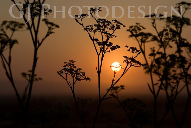 Sunrise through Fennel<br /> Don Edwards Nat'l Wildlife Refuge, Fremont, CA<br /> 0809R-STF1