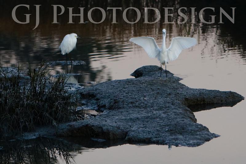 Snowy Egrets<br /> Don Edwards Nat'l Wildlife Refuge, Fremont, California<br /> 0811R-SEL2