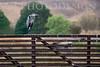 Black Crowned Night Heron<br /> Don Edwards Nat'l Wildlife Refuge, Fremont, California<br /> 0809R-BCNH1