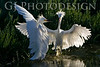 Young Snowy Egrets inna Flap<br /> Don Edwards Nat'l Wildlife Refuge, Fremont, CA<br /> 0804R-SEIF1
