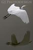 Great Egret<br /> Don Edwards Nat'l Wildlife Refuge, Fremont, California<br /> 0811R-GE1