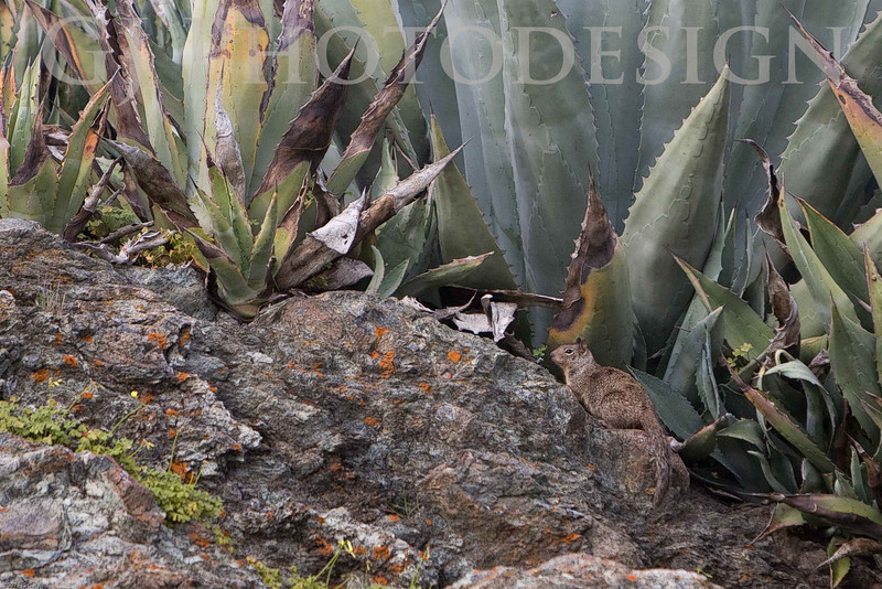 Squirrel Camoflaged in Agave <br /> Don Edwards Nat'l Wildlife Refuge, Fremont, California<br /> 0803R-SIA1