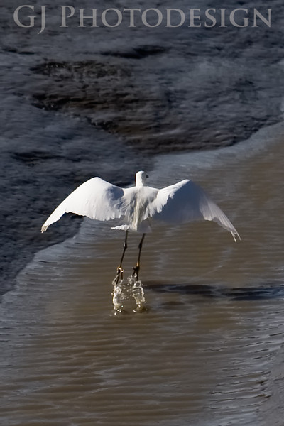 Great Egret<br /> Don Edwards Nat'l Wildlife Refuge, Fremont, California<br /> 0804R-GET1