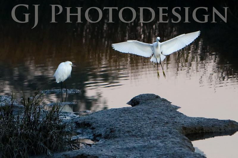 Snowy Egret Landing<br /> Don Edwards National Wildlife Refuge<br /> 0811R-SEL1