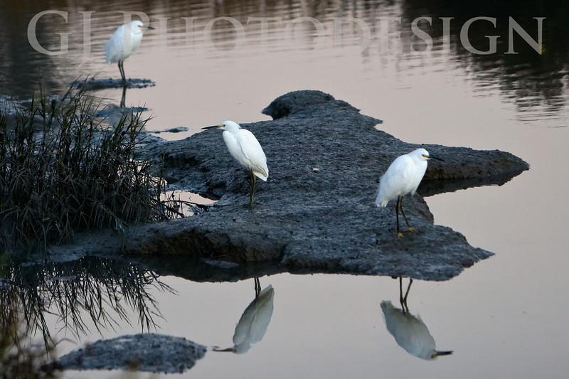 Snowy Egrets<br /> Don Edwards Nat'l Wildlife Refuge, Fremont, California<br /> 0811R-SE2
