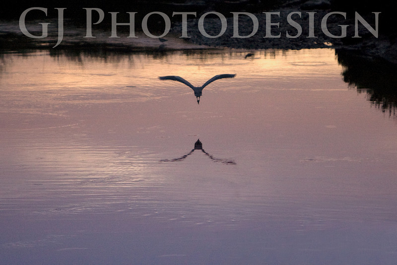 Snowy Egret Flight<br /> Don Edwards Nat'l Wildlife Refuge, Fremont, CA<br /> 0810R-F1