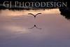 Snowy Egret Flight<br /> Don Edwards Nat'l Wildlife Refuge, Fremont, CA<br /> 0810R-F1