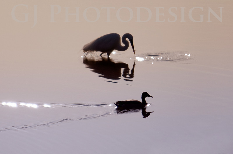 Snowy Egret and Duck Silhouettes<br /> Don Edwards Nat'l Wildlife Refuge, Fremont, California<br /> 0804R-SEADS1E1
