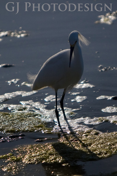 Snowy Egret<br /> Don Edwards Nat'l Wildlife Refuge, Fremont, CA<br /> 0804R-SE10E