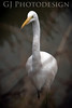 Great Egret<br /> Don Edwards Nat'l Wildlife Refuge, Fremont, California<br /> 0811R-GE6