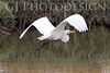 Great Egret Flight<br /> Don Edwards Natl Wildlife Refuge, Fremont, CA<br /> 0711R-EF2