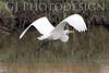 Great Egret Flight<br /> Don Edwards Natl Wildlife Refuge, Fremont, CA<br /> 0711R-EF2