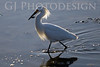 Snowy Egret<br /> Don Edwards Nat'l Wildlife Refuge, Fremont, California<br /> 0804R-SE4
