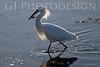 Snowy Egret<br /> Don Edwards Nat'l Wildlife Refuge, Fremont, California<br /> 0804R-SE4