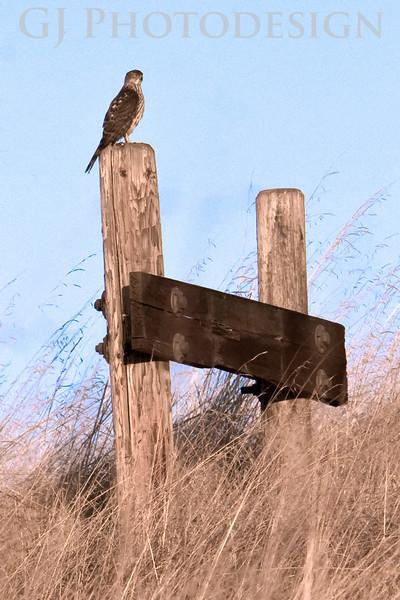 Kestral<br /> Don Edwards Nat'l Wildlife Refuge, Fremont, California<br /> 0811R-K2
