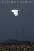 Great Egret<br /> Don Edwards Nat'l Wildlife Refuge, Fremont, California<br /> 0807R-GEF1