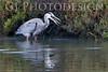 Blue Heron getting something to eat<br /> Don Edwards Nat'l Wildlife Refuge, Fremont, California<br /> 0811R-BH3