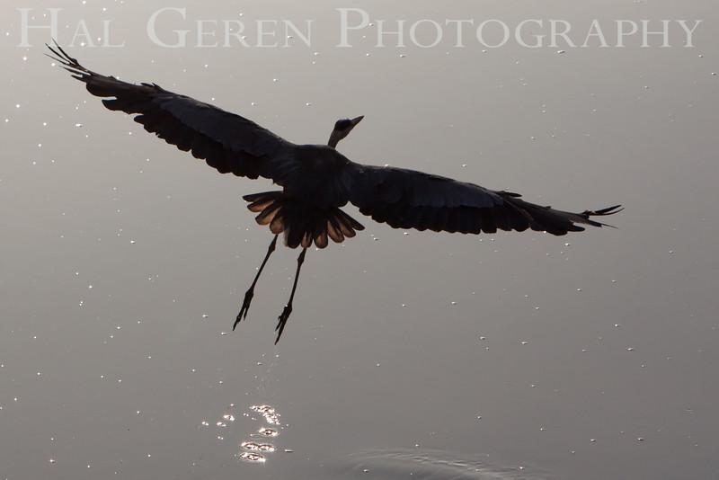 Great Egret Takeoff <br /> Don Edwards Natl Wildlife Refuge, Fremont, California<br /> 0906R-GET1