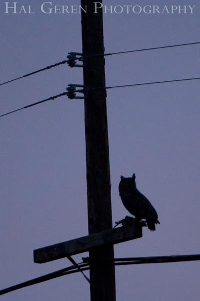 Great Horned Owl Silhouette<br /> Don Edwards Natl Wildlife Refuge, Fremont, California<br /> 0812R-GHOS1