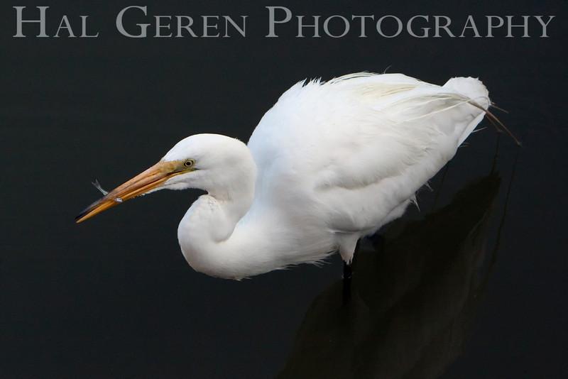 Great Egret<br /> Don Edwards Natl Wildlife Refuge, Fremont, California<br /> 0907R-GE11