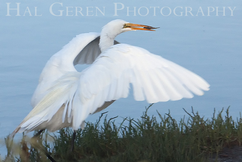 Great Egret with breakfast<br /> Don Edwards Natl Wildlife Refuge, Fremont, California<br /> 0907R-GEWF2